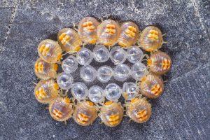 Æg og nymfer af væggelus på seng