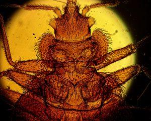 Hudskelet ved hun-væggelus gennembores ved insemination af sæd