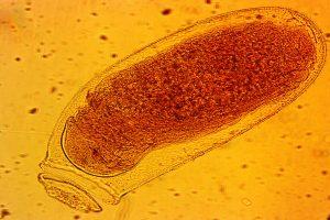 Makrofoto af æg fra væggelus